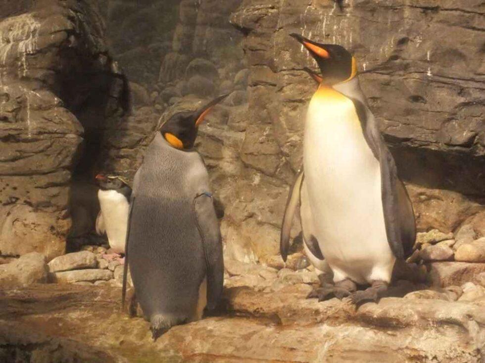Wybieg dla pingwinów w zoo pokyty imitacją kamienia