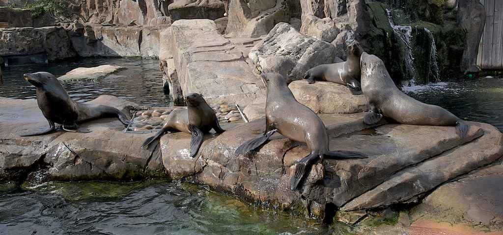 foki na dekoracjach ze sztucznej skały w zoo